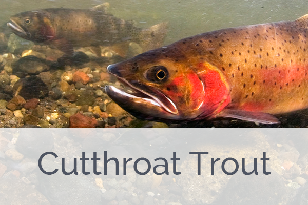 ACES Cutthroat Trout Level Membership